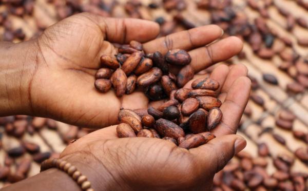 Le développement durable dans la culture du cacao, une solution ?