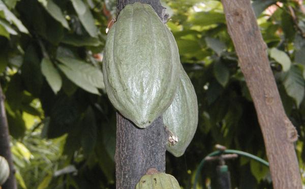 Le niveau de vie des producteurs de cacao