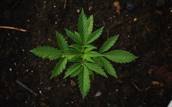 Le chocolat brouille les tests de puissance du cannabis