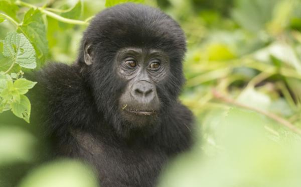 Pour un cacao durable et une agriculture plus rationnelle, l'UE protège les Gorilles.
