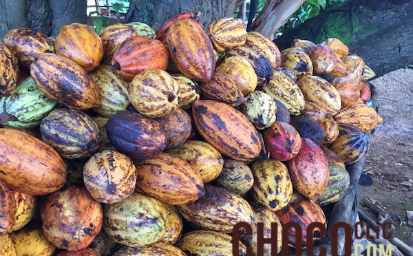 Le Cacao Forastero (Cacaoyer)