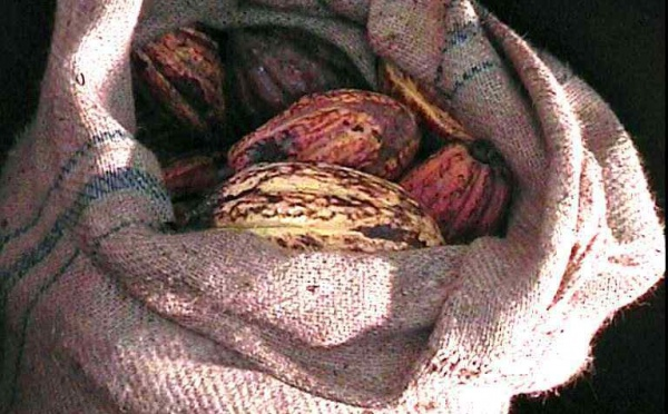 Le Cacao Criollo (Cacaoyer)