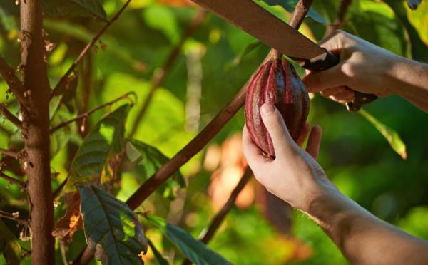 Le changement climatique affecte la production de cacao et chocolat