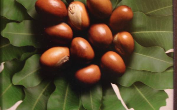 L'huile végétale d'illipé ou Beurre d'illipé