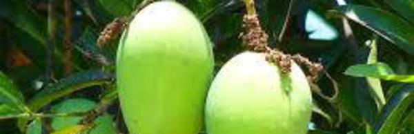 Beurre de Mangue (noyaux de Mangue)