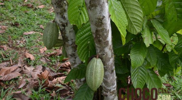La culture du cacao à Madagascar.