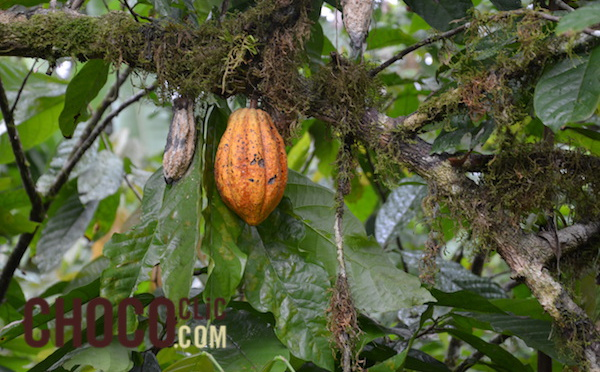 La plantation cacao : Maralumi