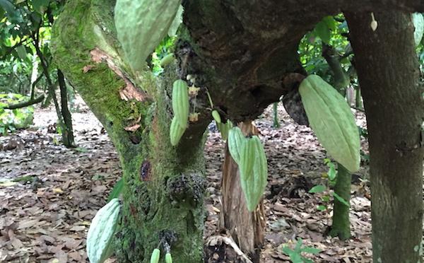 La plantation cacao : Conception