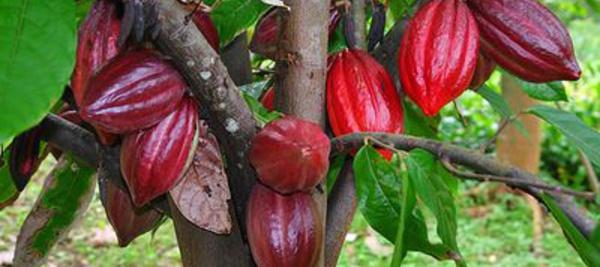La provenance des fèves de cacao de Trinidad