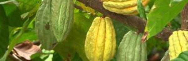 Le cacao Mercedes : le sésame de la relance économique en Côte d'Ivoire ?