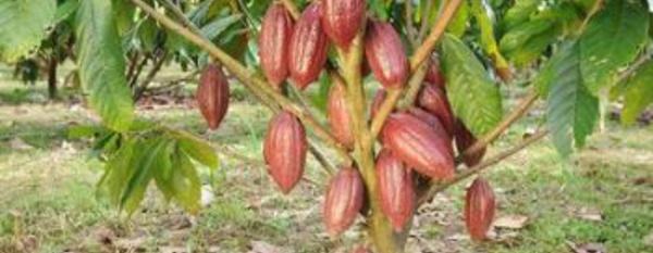La survie du cacao au cœur de la Grande-Bretagne