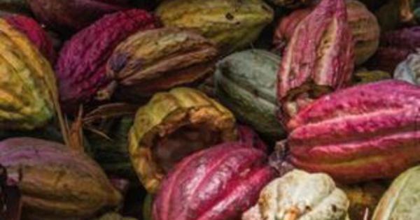 Une stratégie globale de conservation et utilisation des ressources génétiques du cacao, par la Fondation pour une Economie Durable du Cacao