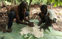 Une forte coopération en faveur de la culture durable du cacao.