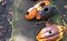 Les scientifiques ont identifier les gènes de résistance aux maladies dans les cacaoyers