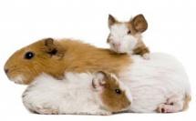 Le chocolatier Barry Callebaut et PETA interdisent les expériences sur les animaux